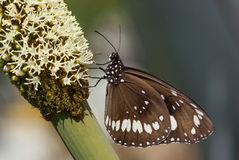 Πεταλούδα στα αυστραλιανά άνθη δέντρων χλόης, Xanthorrhoea Στοκ Εικόνες