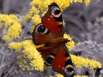 Πεταλούδα στα κίτρινα λουλούδια σε ένα γραπτό υπόβαθρο Στοκ Εικόνα