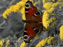 Πεταλούδα στα κίτρινα λουλούδια σε ένα γραπτό υπόβαθρο Στοκ φωτογραφία με δικαίωμα ελεύθερης χρήσης