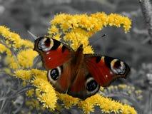 Πεταλούδα στα κίτρινα λουλούδια σε ένα γραπτό υπόβαθρο Στοκ εικόνες με δικαίωμα ελεύθερης χρήσης