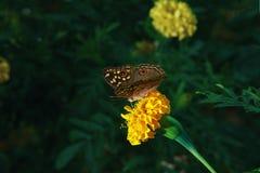 Πεταλούδα στα λουλούδια κίτρινα Στοκ φωτογραφία με δικαίωμα ελεύθερης χρήσης