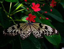 Πεταλούδα στα σκούρο κόκκινο λουλούδια Στοκ Φωτογραφία