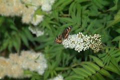 Πεταλούδα στα χρώματα κεδροτσιχλών Στοκ φωτογραφία με δικαίωμα ελεύθερης χρήσης