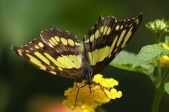 Πεταλούδα στην άνθιση Στοκ φωτογραφία με δικαίωμα ελεύθερης χρήσης