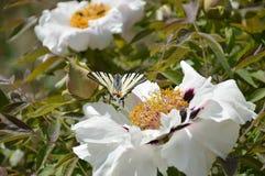 Πεταλούδα στην ηλιόλουστη ημέρα Στοκ φωτογραφίες με δικαίωμα ελεύθερης χρήσης