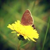 Πεταλούδα στην πικραλίδα Στοκ φωτογραφίες με δικαίωμα ελεύθερης χρήσης
