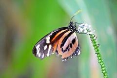 Πεταλούδα στη ζούγκλα του Αμαζονίου Στοκ φωτογραφία με δικαίωμα ελεύθερης χρήσης