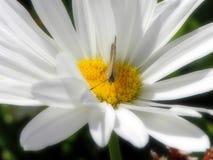 Πεταλούδα στη μαργαρίτα στοκ φωτογραφία με δικαίωμα ελεύθερης χρήσης