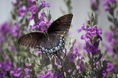 Πεταλούδα στη φασκομηλιά στοκ φωτογραφία με δικαίωμα ελεύθερης χρήσης