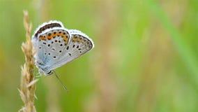 Πεταλούδα στη χλόη φιλμ μικρού μήκους