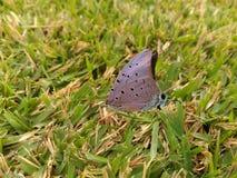 Πεταλούδα στη χλόη Στοκ Φωτογραφία