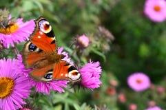 Πεταλούδα στον αστέρα Στοκ εικόνα με δικαίωμα ελεύθερης χρήσης