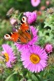 Πεταλούδα στον αστέρα Στοκ Φωτογραφία