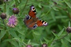 Πεταλούδα στον κάρδο Στοκ Εικόνα