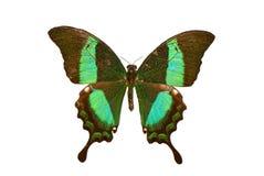 Πεταλούδα στο άσπρο υπόβαθρο Στοκ Εικόνες