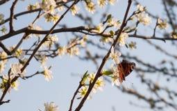 Πεταλούδα στο δέντρο μηλιάς Στοκ φωτογραφίες με δικαίωμα ελεύθερης χρήσης
