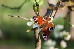 Πεταλούδα στο δέντρο μηλιάς. Στοκ εικόνες με δικαίωμα ελεύθερης χρήσης
