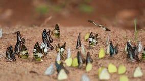 Πεταλούδα στο έδαφος ο κοινός Jay, οικονόμος itamputi Graphium antiphates, μικρό κίτρινο, ριγωτό άλμπατρος χλόης απόθεμα βίντεο