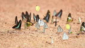 Πεταλούδα στο έδαφος ο κοινός Jay, οικονόμος itamputi Graphium antiphates, μικρό κίτρινο, ριγωτό άλμπατρος χλόης φιλμ μικρού μήκους