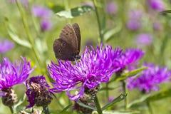Πεταλούδα στο ιώδες άνθος του άγριου λουλουδιού στον τομέα στοκ εικόνες