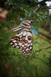 Πεταλούδα στο κατώφλι Στοκ Εικόνες