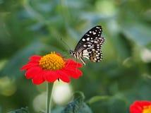 Πεταλούδα στο κόκκινο και κίτρινο λουλούδι Στοκ εικόνα με δικαίωμα ελεύθερης χρήσης