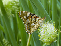 Πεταλούδα στο λουλούδι ενός πράσινου κρεμμυδιού Στοκ Εικόνα