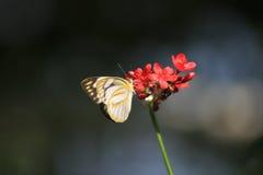 Πεταλούδα στο λουλούδι το ριγωτό άλμπατρος Στοκ Εικόνα