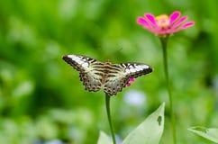 Πεταλούδα στο λουλούδι Στοκ Εικόνες