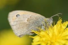Πεταλούδα στο λουλούδι Στοκ φωτογραφίες με δικαίωμα ελεύθερης χρήσης