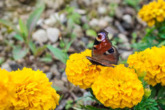 Πεταλούδα στο λουλούδι Στοκ φωτογραφία με δικαίωμα ελεύθερης χρήσης