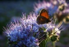 Πεταλούδα στο λουλούδι Phacelia Tanacetifolia στο ηλιοβασίλεμα Στοκ φωτογραφίες με δικαίωμα ελεύθερης χρήσης