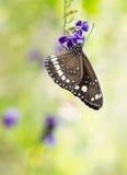 Πεταλούδα στο πορφυρό λουλούδι με το διάστημα αντιγράφων Στοκ Φωτογραφίες