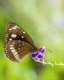 Πεταλούδα στο πορφυρό λουλούδι Στοκ Φωτογραφίες