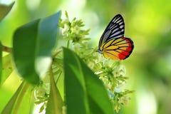 Πεταλούδα στο πρωί Ταϊλάνδη λουλουδιών Στοκ Εικόνες