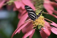 Πεταλούδα στο ροζ Στοκ Φωτογραφία