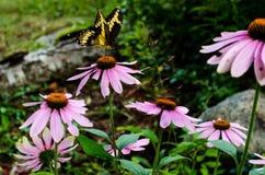 Πεταλούδα στο ρόδινο λουλούδι Στοκ εικόνα με δικαίωμα ελεύθερης χρήσης