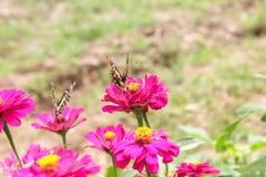Πεταλούδα στο ρόδινο λουλούδι Στοκ Εικόνα