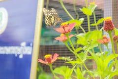 Πεταλούδα στο ρόδινο λουλούδι Στοκ φωτογραφία με δικαίωμα ελεύθερης χρήσης