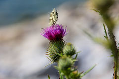 Πεταλούδα στο της Παρθένου Μαρίας λουλούδι κάρδων (marianum Silybum) Στοκ Φωτογραφία