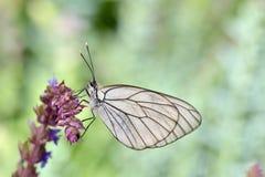 Πεταλούδα στο φυσικοί βιότοπο & x28 aporia crataegi& x29  Στοκ φωτογραφία με δικαίωμα ελεύθερης χρήσης