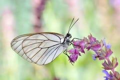 Πεταλούδα στο φυσικό βιότοπο (crataegi aporia) Στοκ Εικόνες