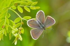 Πεταλούδα στο φυσικό βιότοπο (plebejus Argus) Στοκ εικόνες με δικαίωμα ελεύθερης χρήσης