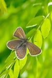Πεταλούδα στο φυσικό βιότοπο (plebejus Argus) Στοκ Εικόνες