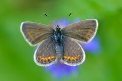 Πεταλούδα στο φυσικό βιότοπο (plebejus Argus) Στοκ φωτογραφίες με δικαίωμα ελεύθερης χρήσης