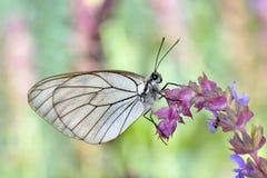Πεταλούδα στο φυσικό crataegi aporia βιότοπων Στοκ φωτογραφίες με δικαίωμα ελεύθερης χρήσης