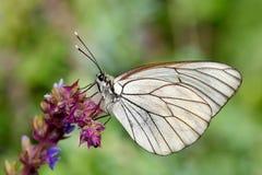 Πεταλούδα στο φυσικό crataegi aporia βιότοπων Στοκ εικόνα με δικαίωμα ελεύθερης χρήσης