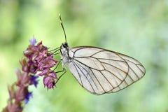 Πεταλούδα στο φυσικό crataegi aporia βιότοπων Στοκ Φωτογραφία