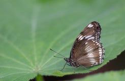Πεταλούδα στο φύλλο Στοκ εικόνα με δικαίωμα ελεύθερης χρήσης