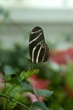 Πεταλούδα στο φύλλο Στοκ φωτογραφίες με δικαίωμα ελεύθερης χρήσης